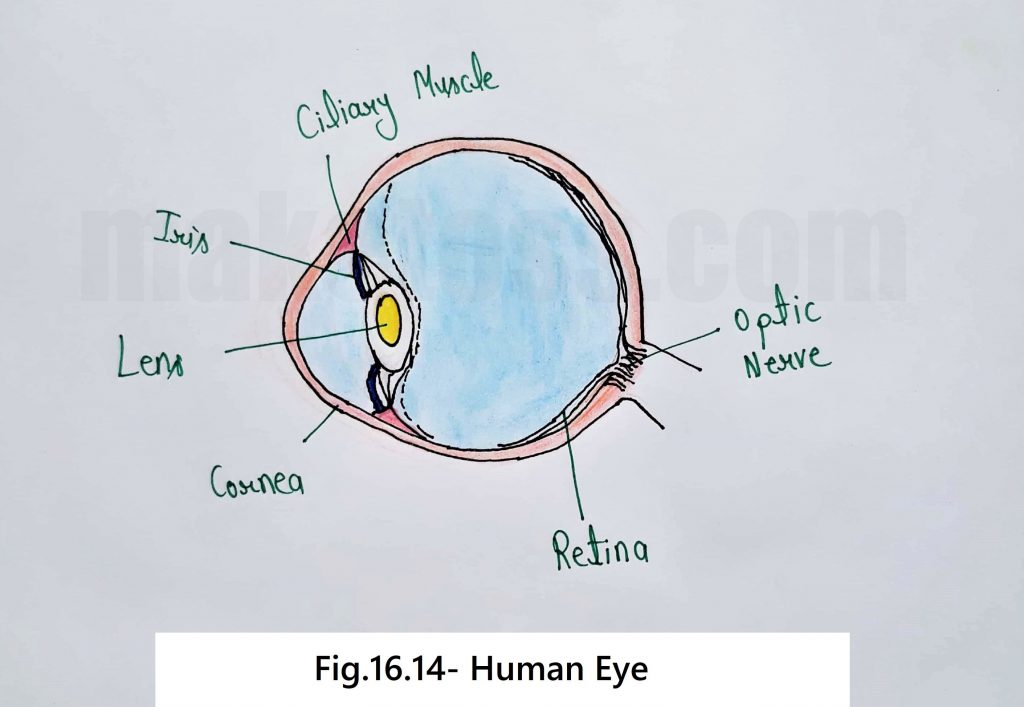 sketch diagram of the Human Eye