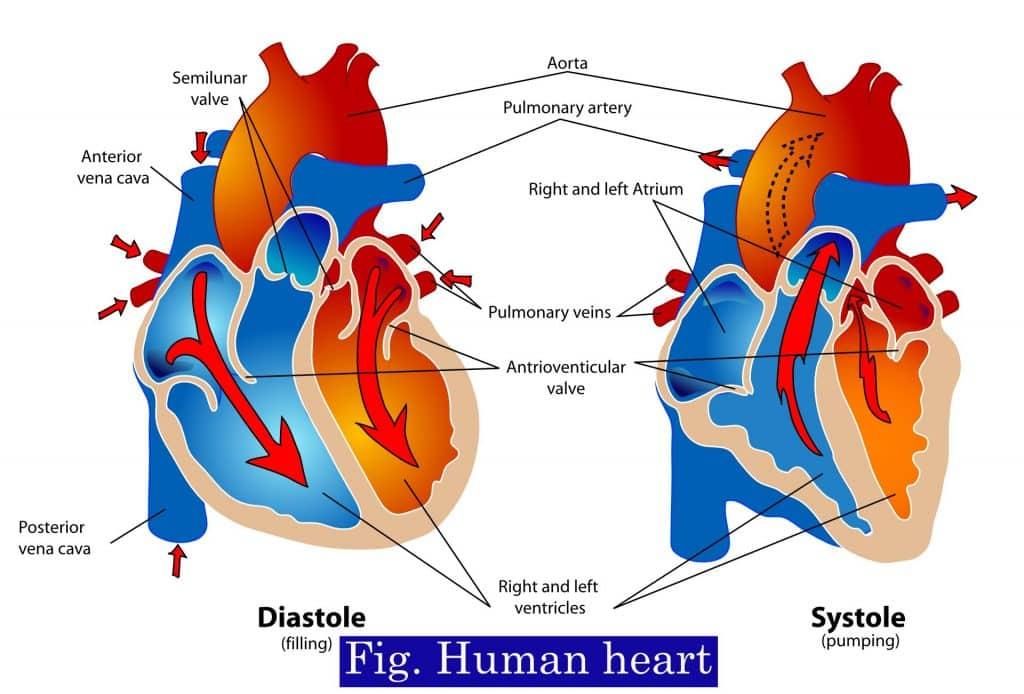 Diagram of human heart